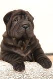 Cachorrinho bonito de Shar Pei no fundo branco Fotografia de Stock Royalty Free