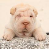 Cachorrinho bonito de Shar Pei no fundo claro Fotografia de Stock Royalty Free