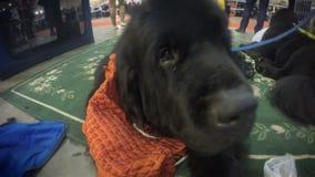 Cachorrinho bonito de Terra Nova que encontra-se quietamente no tapete que descansa após a demonstração video estoque