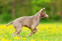 Cachorrinho bonito de Weimaraner que corre no prado imagem de stock