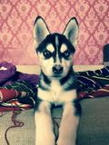 Cachorrinho bonito do cão de puxar trenós Siberian Fotografia de Stock Royalty Free