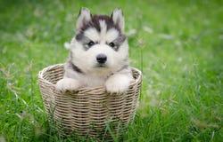Cachorrinho bonito do cão de puxar trenós siberian na cesta Fotografia de Stock