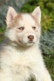 Cachorrinho bonito do cão de puxar trenós siberian no jardim Fotos de Stock Royalty Free