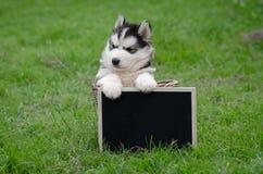 Cachorrinho bonito do cão de puxar trenós siberian que guarda a placa preta Fotografia de Stock Royalty Free