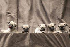Cachorrinho bonito do cão do Pug Imagens de Stock Royalty Free