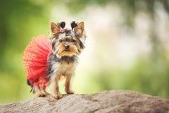 Cachorrinho bonito do cão pequeno do yorkshire terrier fêmea com a saia vermelha no fundo borrado verde imagens de stock royalty free