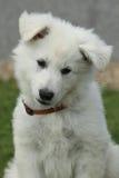 Cachorrinho bonito do pastor suíço branco Dog Imagem de Stock