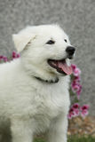 Cachorrinho bonito do pastor suíço branco Dog Imagem de Stock Royalty Free