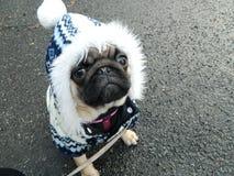 Cachorrinho bonito do pug no equipamento do inverno Fotos de Stock Royalty Free