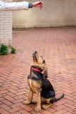 Cachorrinho bonito do sabujo em 5 meses imagem de stock royalty free
