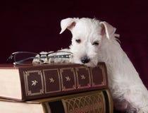 Cachorrinho bonito do schnauzer com vidros e livros Fotos de Stock