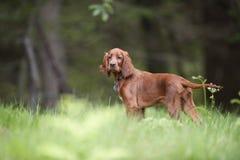 Cachorrinho bonito do setter irlandês que está na floresta e que espera para começar com suas capacidades da caça Imagem de Stock