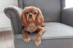 Cachorrinho bonito do spaniel descuidado fotografia de stock