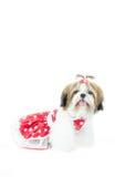 Cachorrinho bonito do tzu do shih no vestido vermelho Imagens de Stock Royalty Free