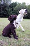 Cachorrinho bonito e Labrador de Brown Foto de Stock