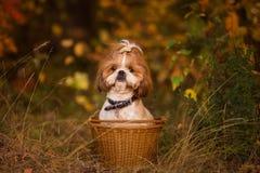 Cachorrinho bonito em uma cesta na floresta do outono fotos de stock royalty free