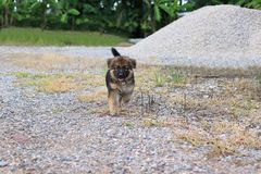 Cachorrinho bonito feliz do pastor alemão que corre na casa exterior Foto de Stock Royalty Free