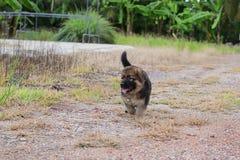Cachorrinho bonito feliz do pastor alemão que corre na natureza da grama verde na jarda Fotografia de Stock
