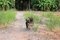 Cachorrinho bonito feliz do pastor alemão que corre na natureza na jarda Imagens de Stock Royalty Free