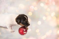 Cachorrinho bonito Jack Russell Terrier do Natal canino imagem de stock