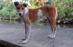 Cachorrinho bonito magro Fotografia de Stock Royalty Free