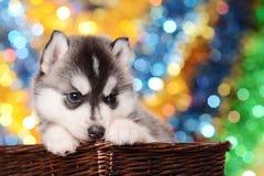 Cachorrinho bonito na cesta marrom imagens de stock royalty free