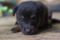 Cachorrinho bonito no assoalho de madeira Foto de Stock