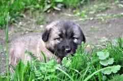 Cachorrinho bonito no cão de Sharmountain da grama fotos de stock royalty free
