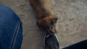 Cachorrinho bonito que mastiga as sapatilhas video estoque