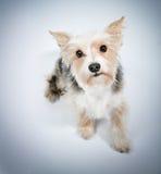 Cachorrinho bonito que pede a remissão Imagem de Stock