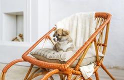 Cachorrinho bonito que senta-se acima na balançar-cadeira de madeira imagem de stock royalty free