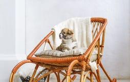 Cachorrinho bonito que senta-se acima na balançar-cadeira de madeira fotografia de stock