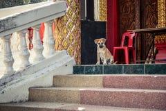 Cachorrinho bonito que senta-se em escadas e que guarda a entrada de um templo Imagem de Stock