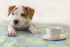 Cachorrinho bonito Staffordshire Terrier americano com uma xícara de café/chá isolado no fundo branco fotografia de stock