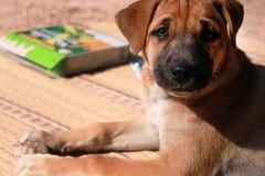 Cachorrinho bonito tailandês fotografia de stock