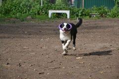 Cachorrinho border collie Fotografia de Stock