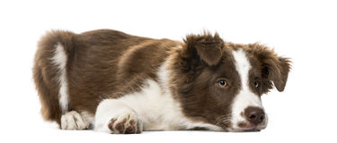 Cachorrinho border collie que encontra-se, 15 semanas velho Imagem de Stock Royalty Free