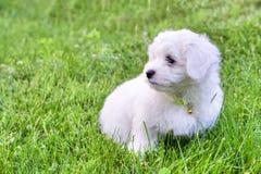 Cachorrinho branco bonito de Bichon que senta-se na grama no dia de verão fotos de stock