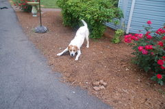Cachorrinho branco brincalhão Imagens de Stock