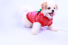 Cachorrinho branco da caniche que veste uma camisa vermelha. isolado em uma parte traseira do branco Fotografia de Stock