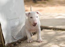 Cachorrinho branco de bull terrier que explora fora Foto de Stock Royalty Free