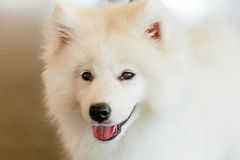 Cachorrinho branco do cão do Samoyed Fotografia de Stock