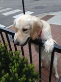Cachorrinho branco do golden retriever na perseguição atenta imagens de stock