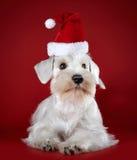 Cachorrinho branco do schnauzer diminuto foto de stock royalty free