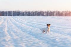 Cachorrinho branco do terrier de Russel do jaque no campo nevado foto de stock