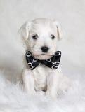 Cachorrinho branco no laço Imagens de Stock
