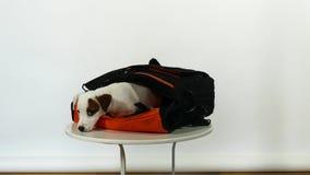 Cachorrinho branco no saco video estoque