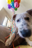 Cachorrinho branco pequeno com pontos pretos O cachorrinho estourou o balão e mastigou-o no sofá Imagens de Stock Royalty Free