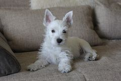 Cachorrinho branco que coloca no sofá Foto de Stock