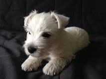 Cachorrinho branco que coloca no sofá escuro Imagens de Stock Royalty Free